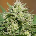 Medical Kush Automatic (Spliff Seeds) feminizada