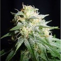 White Widow Automatic (Spliff Seeds) feminizada
