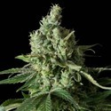 Moby Dick CBD (Dinafem) feminizada