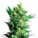 Shiva Shanti 2 (Sensi Seeds) Regular