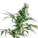 Mexican Sativa (Sensi Seeds) regular/feminizada