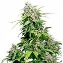 California Indica (Sensi Seeds) regular/feminizada