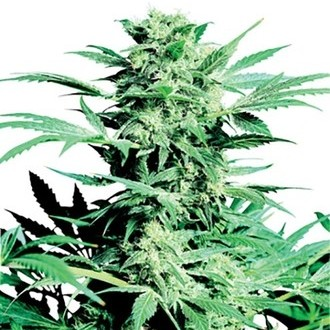 Shiva Skunk (Sensi Seeds) regular
