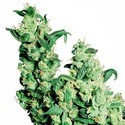 Jack Herer (Sensi Seeds) regular/feminizada
