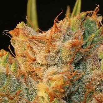 MK-Ultra Kush x Bubble (T.H. Seeds) feminizada