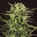 AUTO MK-Ultra® Kush (T.H. Seeds) feminizada