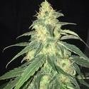 S.A.G.E. CBD (T.H. Seeds) feminizada