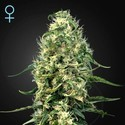 Super Silver Haze CBD (Greenhouse Seeds) feminizada