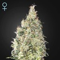Great White Shark CBD (Greenhouse Seeds) feminizada