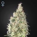 Great White Shark CBD (Greenhouse Seeds) feminizada