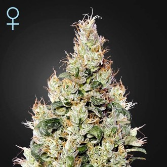 Exodus Cheese Auto CBD (Greenhouse Seeds) feminizada