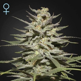 Super Lemon Haze CBD (Greenhouse Seeds) feminizada
