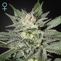 King's Kush CBD (Greenhouse Seeds) feminizada