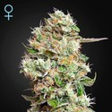 King's Kush Autofloreciente CBD (Greenhouse Seeds) feminizada