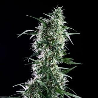 Santa Bilbo (Genehtik Seeds) feminizada