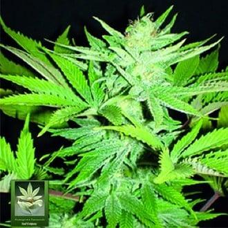 Homegrown Lowryder (Homegrown Fantaseeds) feminizada