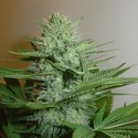 Blue Pearl (Homegrown Fantaseeds) feminizada