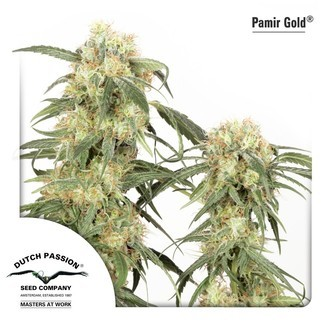 Pamir Gold (Dutch Passion) feminizada