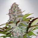 Auto Cheese NL (Ministry of Cannabis) feminizada
