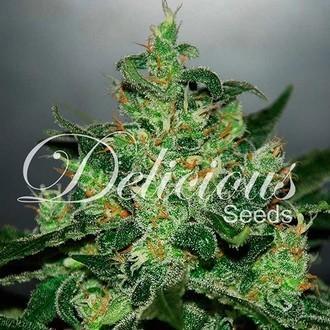 Critical Jack Herer Auto (Delicious Seeds) feminizada