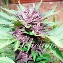 Auto Dark Purple (Delicious Seeds) feminizada