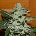 Desconocida Kush (Delicious Seeds) feminizada