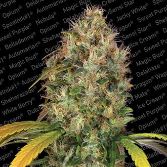 Dutch Kush (Paradise Seeds) feminizada
