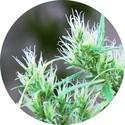 CBD Haze Auto (Top Tao Seeds) regular