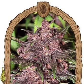 Black Haze (Exotic Seed) feminizada