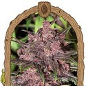Black Haze (Exotic Seed) feminizada