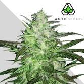Auto Chemdog (Auto Seeds) feminizada