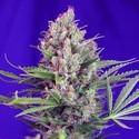 Cream Mandarine - F1 Fast Version (Sweet Seeds) feminizada
