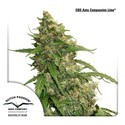 CBD Auto Compassion Lime (Dutch Passion) feminizada