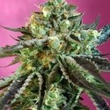 Sweet Nurse Auto CBD (Sweet Seeds) feminizada