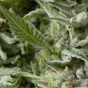 Auto Alpujarreña (Pyramid Seeds) feminizada