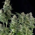 Northern Lights (Pyramid Seeds) feminizada