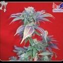 Purple Haze 1 (Positronics) feminized