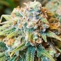 CBD Medi Kush (Spliff Seeds) feminizada