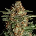 CBD Spliff Berry (Spliff Seeds) feminizada