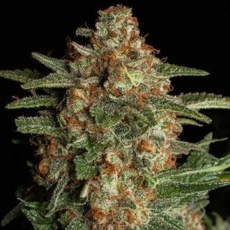 Purple Berry Kush (Spliff Seeds) feminizada