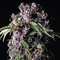 Purple (Pyramid Seeds) feminizada