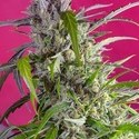 Crystal Candy Auto (Sweet Seeds) feminizada