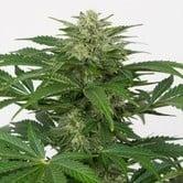 Haze Autofloreciente CBD (Dinafem) feminizada