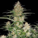 60 Day Wonder Auto (DNA Genetics) feminizada