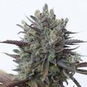 Purple Orange CBD (Dinafem) feminizada
