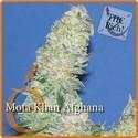 Mota Khan Afghana (Elite Seeds) feminizada