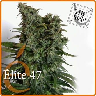 Elite 47 (Elite Seeds) feminizada