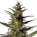 Candida (CD-1) (Medical Marijuana Genetics) feminizada