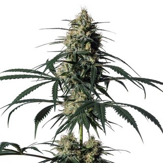 Hiydrow (HY-1) (Medical Marijuana Genetics) feminizada