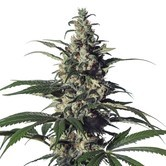Green Doctor (GD-1) (Medical Marijuana Genetics) feminizada